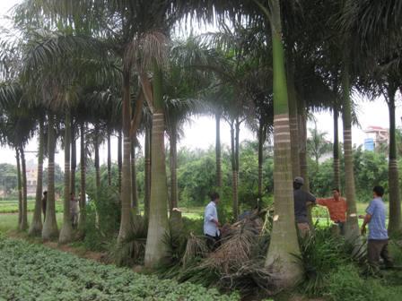 Rừng cau cảnh 'che chở' cho đường dây trần TTTH ĐS, một trong các vi phạm HLBV ATGTĐS điển hình trên tuyến Gia Lâm- Hải Phòng